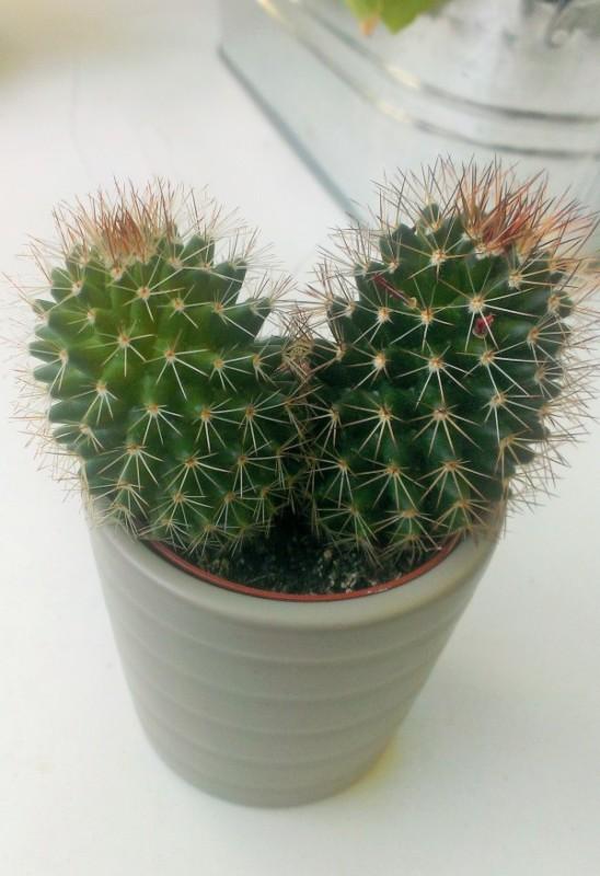 Pflanze: Kaktus Mammillaria in einem grauen Blumentopf